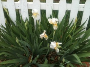 Spring Flowers Blooming along Fence