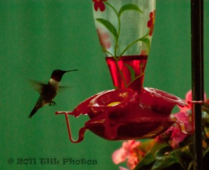 Hummingbird at Feeders