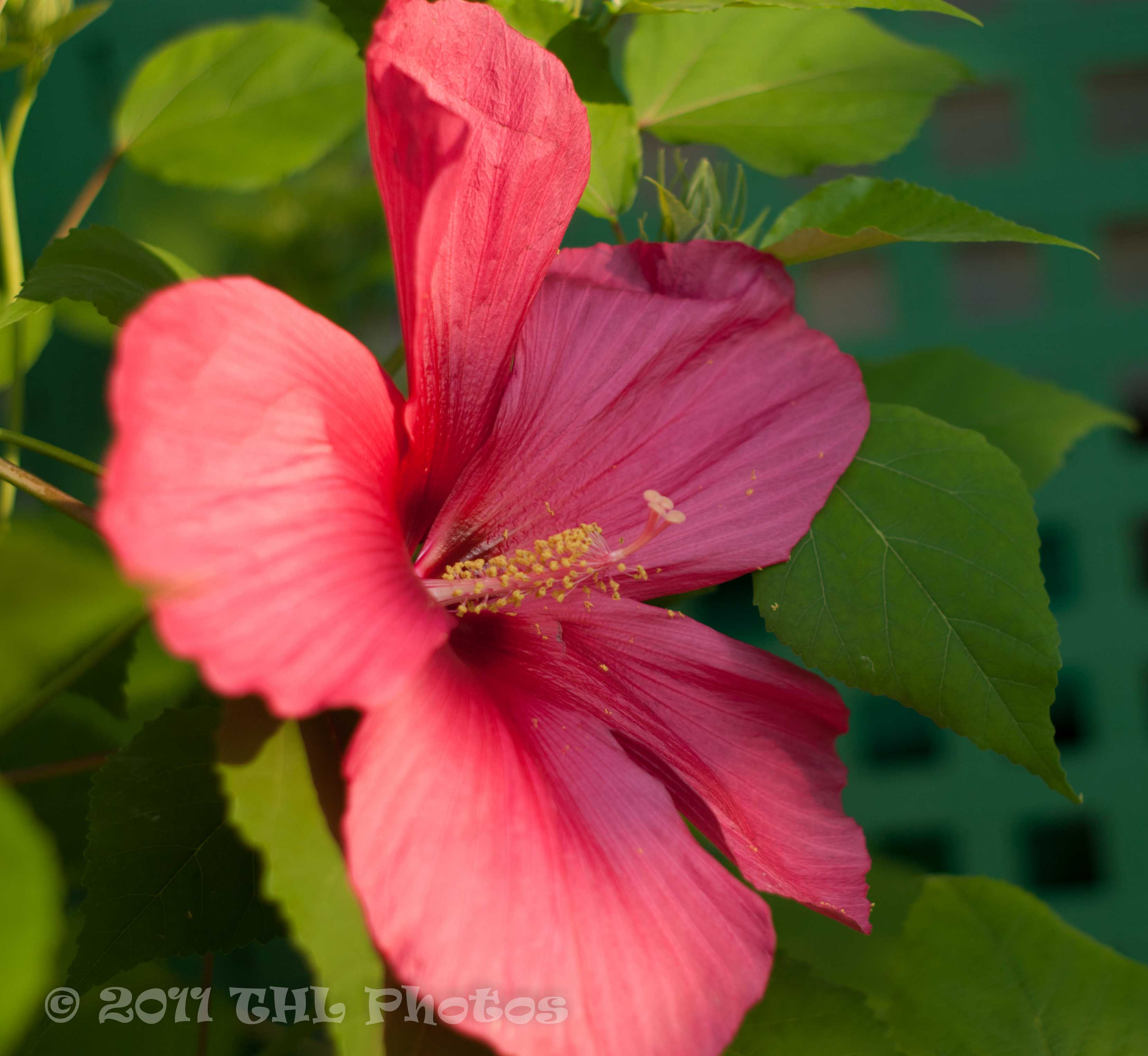 The Moy Grande Hibiscus Blooming At The Carriage House Bed