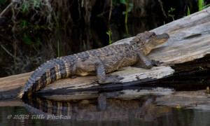 Alligator at Caddo Lake